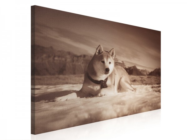 Leinwand - Shiba Inu - The Mountain-Dog - 75x50cm